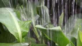 Heavy rain fall down to green big leaf in garden and drop down like waterfall storm. Concept tropical area only and dew on leave so beautiful stock video