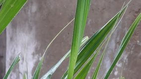 Heavy rain falling on a green palm leaves. In a tropical storm stock video