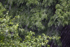 Heavy rain over the treetops. Rain dropping like a waterfall on thick forest branches Stock Photo