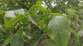 Rain drops dripping on the big green leaves of the tree Walnut close-up. stock video footage