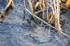 Heavy raindrops splashing into shallow clear water between reeds Royalty Free Stock Photography