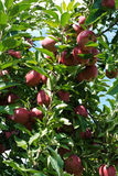 Heavy with Red Apples Royalty Free Stock Images
