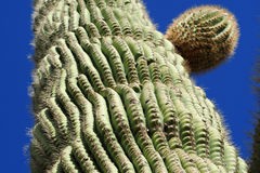 A Heavy Saguaro Rippled with Stored Water. Most of the water collected by the Saguaro Cactus ends up being stored within the cactus to use during periods of Royalty Free Stock Photo