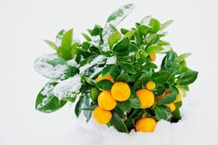 Heavy Snow. Spring snow on a green bush with oranges Stock Photos