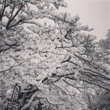 Heavy Snow. Beautiful snow resting on tree Royalty Free Stock Image