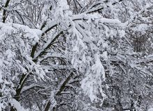 Heavy snow covered branches in spring in Minnesota. Many heavy snow covered branches after a snow storm in spring in Minnesota royalty free stock images