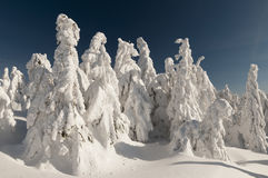 The heavy snow covered pine trees Royalty Free Stock Photos