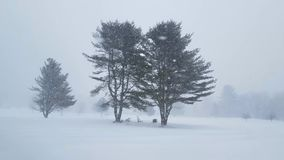 Heavy Snow Fall Surrounding Large Trees. Heavy snow fall around 3 large trees during winter storm in the northeast. Almost whiteout conditions with quick blasts stock video