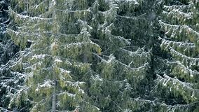 Heavy snow falls on background of big evergreen fir trees stock footage