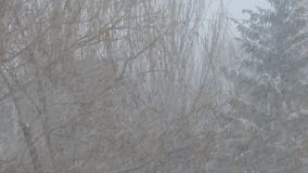 Heavy snow falls, snowstorm on background of trees. Heavy snow falls, snowstorm on the background of trees stock video