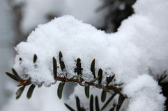 Heavy snow on fir tree branch. Closeup of heavy snow on fir tree branch Royalty Free Stock Photos