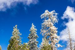 Snow Laden Trees On Sunshine Day. Heavy Snow Laden Pine Trees With Blue Sky Background & Clouds Stock Photo