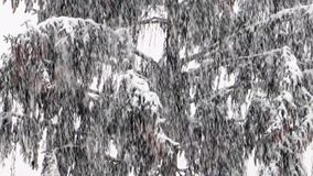 Heavy snowfall. On background conifers stock video footage