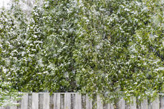 Heavy snowfall on country pine trees and wooden fence, winter so stock photo
