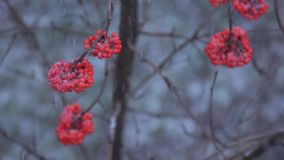 Rowan berries in winter. A heavy snowfall falls asleep with snow red berries of mountain ash on the tree stock video