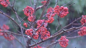 Rowan berries in winter. A heavy snowfall falls asleep with snow red berries of mountain ash on the tree stock video footage