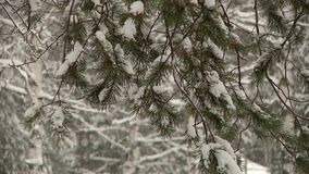 Heavy snowfall in the forest Park. Among the trees and pines stock video