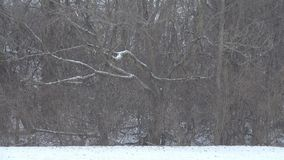 Heavy snowfall in front of a tree line. Snow falls on a field in front of trees at the edge of a forest stock video footage