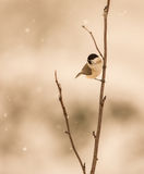 Marsh Tit under the snow Royalty Free Stock Images