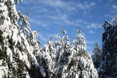 Snow-covered pine forest on a frosty sunny day stock photography