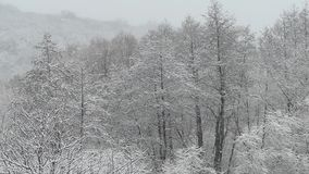 Heavy snowfall. Snow-covered forest in winter. Flying snowflakes. Full HD stock footage