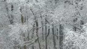 Heavy snowfall. Snow-covered forest in winter. Flying snowflakes. Full HD stock video footage