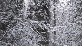 Heavy snowfall in a winter forest. Heavy snowfall in a winter forest Altai, Siberia stock video