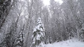 Heavy snowfall in a winter forest. Altay, Siberia stock footage