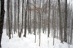 Heavy Snowfall in the Woods Royalty Free Stock Photography
