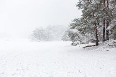 Heavy snowing and pine trees on the Soesterduinen. stock photography