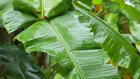 Heavy Tropical Rain at Banana Palm Tree Plantation. Water Drops Falling on Banana Leaves. Rain Season in Asia. Thailand. Heavy Tropical Rain at Banana Palm Tree stock video footage