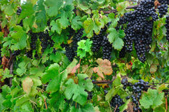 Heavy on the Vine. Merlot Grapes hanging on the vine Royalty Free Stock Photo