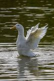 Heavy white Aylesbury ducks flapping their wings as they wash and preen their. White Aylesbury ducks also known as American Pekin or Long Island ducks flapping royalty free stock image