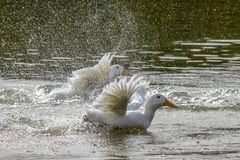 Heavy white Aylesbury ducks flapping their wings as they wash and preen their. White Aylesbury ducks also known as American Pekin or Long Island ducks flapping stock image