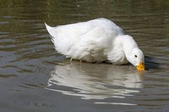 Heavy white duck American Pekin ducks also know as Aylesbury or Long Island ducks searching for food in shallow water royalty free stock photo