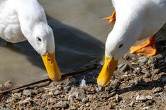 Heavy white ducks American Pekin ducks also know as Aylesbury or Long Island ducks searching for food stock photography