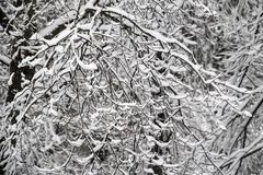 Heavy Winter Snow on Trees.  stock images