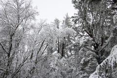 Heavy Winter Snow on Trees.  royalty free stock photography