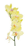 Heavy yellow orchid isolated branch Royalty Free Stock Images
