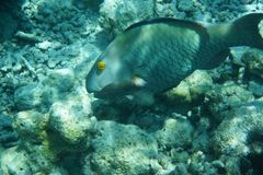 Heavybeak-Papageienfisch Scarus-gibbus stockbild