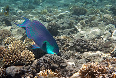 Heavybeak parrotfish. Stock Images