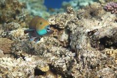 Heavybeak parrotfish Royalty Free Stock Image