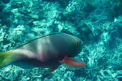 Heavybeak parrotfish Scarus gibbus stock photography
