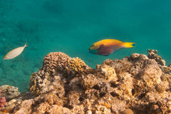 Heavybeak parrotfish is underwater Stock Images