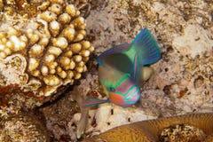 Heavybeak parrotfish is underwater Stock Photo