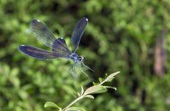 Heban jewelwing (Calopterix maculate) fotografia royalty free