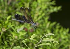 Heban jewelwing (Calopterix maculate) obraz stock