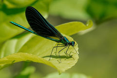 Hebanu Jewelwing Damselfly Obrazy Royalty Free