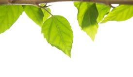 изолированное hebe ветви Стоковая Фотография