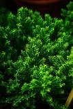 Hebe emerald green Stock Photos